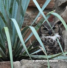 Great horned owls on the nest at Wildflower Center | Digging