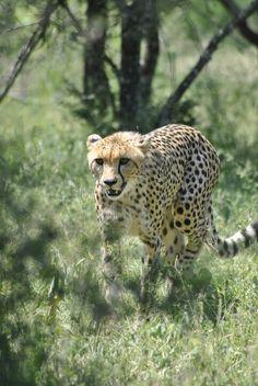 Cheetah All Dogs, Cheetah, Kangaroo, South Africa, Fox, Creatures, Birds, Horses, Cats