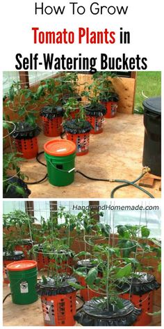 How To Grow Tomato Plants In Buckets, Self-Watering