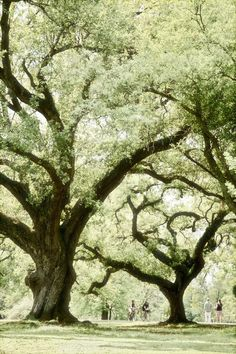 Majestic oak trees lining the Audubon Park - New Orleans