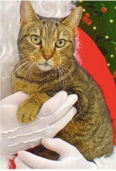 Mary Chris LB is an adoptable Domestic Short Hair Cat in Nashville, TN. You can fill out an adoption application online on our official website. I am probably about 13 years old and declawed in the fr...