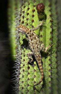 Desert Spiny Lizard by Saija Lehtonen