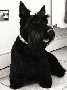 A beautiful Scottish Terrier.