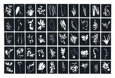 Enero. Capítulo III Costa Rica. Del Herbario Nacional UNAM, esmalte y tinta epóxica sobre metal, 50 paneles de 40x 30 c/u, 2010, Jan Hendrix.