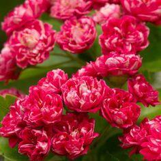 Aubépine à fleurs doubles
