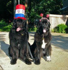 Patriotic Newfoundland Dogs