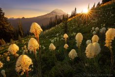 "Summer in the Mountains - The day comes to the end while a meadow of bear grass serves as a foreground to Mt. Rainier.  I got the new Canon 16-35 f/4 a couple weeks and and had been itching to try it out. Finally got the chance and can confirm that it produces a nice and clean sun star! It's also ridiculously sharp in the corners. Pretty happy with it so far!  Website: <a href=""http://www.northwestcapture.com/"">www.northwestcapture.com</a>"