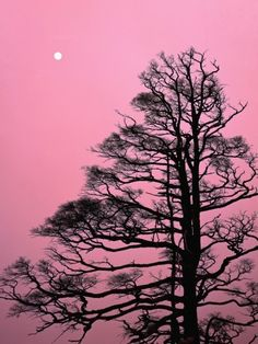 Japanese Larch Tree
