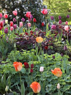 The+contrasting+maroon+foliage+of+'Stormy+Seas'+heuchera,+chartreuse+lady's+mantle,+and+'Bountiful'+fringed+bleeding+heart+hides+the+base+of+leggy+tulip+stems.+This+blend+of+dusky+shades+includes+'Beauty+Queen',+'Christmas+Marvel',+'Purple+Prince',+'Pink+Impression',+'Cassini',+'Negrita',+'Jan+Reus',+'Daydream',+and+'Queen+of+Night'.+Test+Garden+Tip:+To+make+dark+blooms+stand+out+in+the+garden,+provide+a+light+backdrop.+Creamy-white+viburnum+blossoms+set+off+these+tulips./