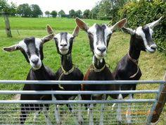 Zwarte toggenburger geiten