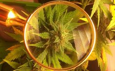 THCA vs. THC: How to Read a Lab Result