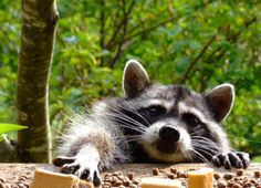 A rare occurrence of raccoon thievery? Me thinks not. Why do you suppose he always wears that mask?