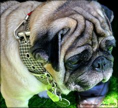 Love alone is a  pug..... :)