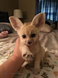 Fennec Fox For Sale                                                                                                                                                                                 More
