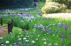 Japanese Iris Garden in Harajyuku Meiji Jinguu(Shinto Shrine). It's near by Harajyuku Station, Tokyo.