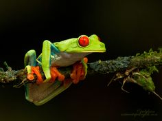 Just Hanging Out by Judylynn Malloch, via 500px - Awesome frog photo!