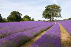 Yes, the Texas Hill Country has lavender farms...surprised? The lavender growing season is capped with a huge lavender festival in early June at all the farms.