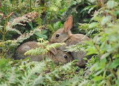 Wild rabbits snuggling(: