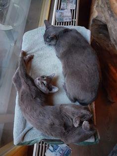 Grey Cats, Blue Cats, Russian Blue, Dog Cat, Yoshi, Dogs, Cute, Blues, Friends