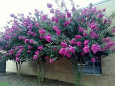 love crepe myrtle for foliage, we should be able to either get large crepe myrtle plants or a bit of foliage to use Side Yard Landscaping, Home Landscaping, Colonial Garden, Myrtle Tree, House Landscape, Garden Boxes, Edible Garden, Flowering Trees, Garden Planning
