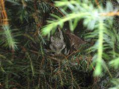 Prachtvruchten op het nest. Ptilinopus superbus.