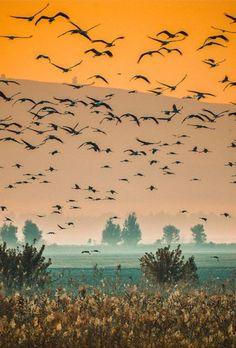 Birds On Misty Morning In Hula Valley, Israel