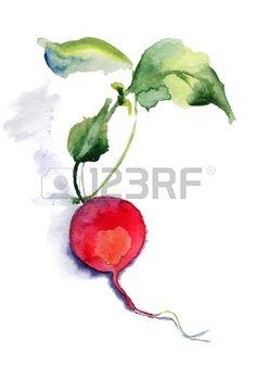 Garden radish, watercolor illustration