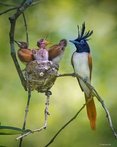 """B I R D S   O N   E A R T H on Instagram: """"Indian Paradise Flycatcher By:@aparupa.dey @birdsonearth"""" Amazing Animals, Young Ones, Bird Pictures, Colorful Birds, Happy Fathers Day, Bird Feathers, Beautiful Birds, Mother Earth, Animal Kingdom"""