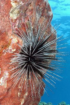 banded urchin on wall