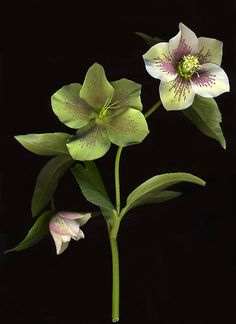 Lenten Rose by Barbara Wyeth (*love the green ones!*)