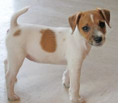 Maddie the Parson Russell Terrier Pictures 5128
