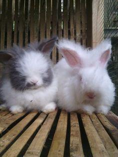 English Anggora rabbit