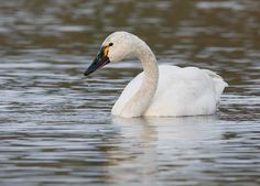Tundra Swan (first seen in Point Reyes, CA in May 2013)