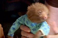a baby sloth in a ONESIE..i think i just died of cuteness..seriously