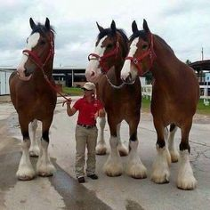 Clydesdale horses are huge! I LOVE these horses! Big Horses, Cute Horses, Pretty Horses, Horse Love, Beautiful Horses, Animals Beautiful, Black Horses, Majestic Animals, Beautiful Images