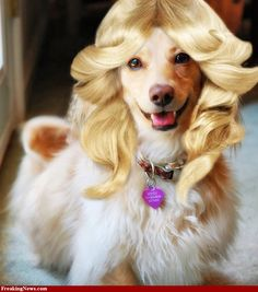 dogs in wigs | Animal Wigs Pictures - High Resolution Gallery