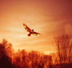 Soar fine art photography hawk sunset orange rust by SevenTen, $32.00