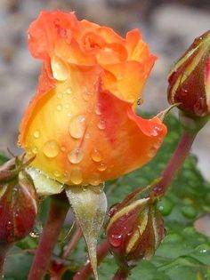 Orange Roses via Lovely Roses Facebook page