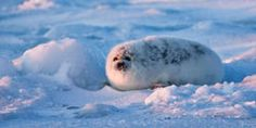 Tell the European Parliament and Council: Keep Baby Seals Protected