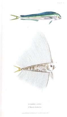 Animal - Fish - Couvier 1834 -  (32)