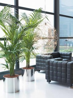 All About Plants And Planters: Kentia Palm Hire