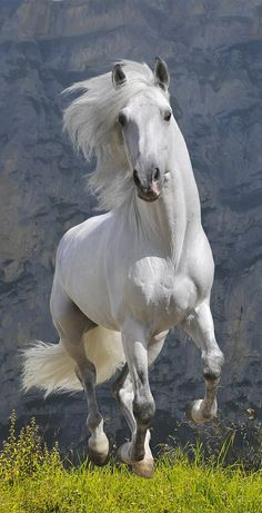 Find andalusian stallion stock images in HD and millions of other royalty-free stock photos, illustrations and vectors in the Shutterstock collection. Thousands of new, high-quality pictures added every day. All The Pretty Horses, Beautiful Horses, Animals Beautiful, Cute Horses, Horse Love, Horse Photos, Horse Pictures, Cavalo Wallpaper, Horse Wallpaper