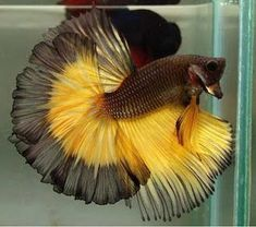Betta fish are often considered to be among the heartiest sort of fish one can purchase, but great betta fish care is essential to a long and happy life. Betta Aquarium, Freshwater Aquarium Fish, Pretty Fish, Beautiful Fish, Animals Beautiful, Colorful Fish, Tropical Fish, Betta Fish Care, Aquariums