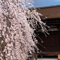 枝垂れ桜揺れる千本釈迦堂