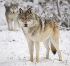 """BRAVO!!!!!!! WILDEARTH GUARDIANS ROCK!!!!!!!  Wildlife Program Director Bethany Cotton's UPDATE: """"Guardians and our partners, represented by our friends at the Western Environmental Law Center, challenged Wildlife Services' plans to kill wolves pointing out that it ignored science about the importance of wolves to healthy, thriving ecosystems. The judge ordered activities authorized by the plan to CEASE IMMEDIATELY and the program to conduct a new full-blown analysis of environmental…"""