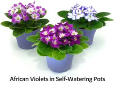 Plant Care Instructions for African Violets Self Watering Pots, Water Me, Plant Care, Outdoor Gardens, Amazon Rewards, African, Violets, Outdoor Ideas, Tips