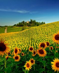 Tuscany, Italy. Explore the countryside and discover the vast sunflower fields. Pro tip: peak bloom is in July.