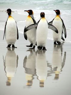21 King Penguin pictures and Information - meowlogy Penguin Life, King Penguin, Penguin Craft, Penguins And Polar Bears, Cute Penguins, Penguin Pictures, Animal Pictures, Beautiful Birds, Animals Beautiful