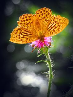 ~~the  butterfly-flower;-) by ♦️ Peter & Ute Grahlmann ♦️~~