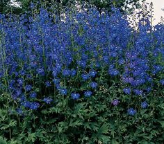 The tall hybrid Delphiniums are the outstanding element of every well-bred garden and get most of the press accorded to this genus. However, the sturdy and graceful species are equally charming.